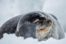 Wildlife Photo of the Week: Weddell Seal