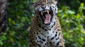 Wildlife Photo of the Week: Jaguar in Brazil