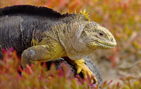 Land iguana in the Galapagos.