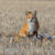Wildlife Photo of the Week:  Red Fox on the Prairie