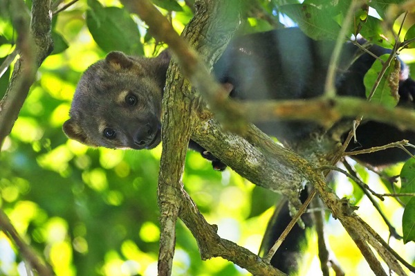 Tayra in the Pantanal.