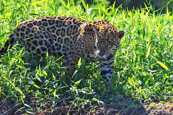Jaguar in the Pantanal.