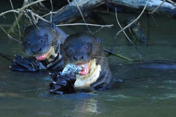 Giant river otter eating fish in the Pantanal.
